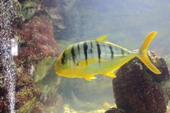 Golden trevally Stock Images