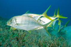 Golden trevally swimming over sea grass Royalty Free Stock Image