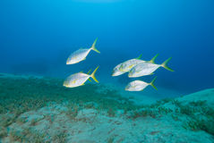 Golden trevally swimming over sea grass Royalty Free Stock Images