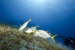 Golden trevally and an underwater photographer Stock Image