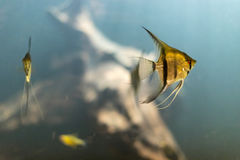 Golden tropical fish swimming under water Stock Photo