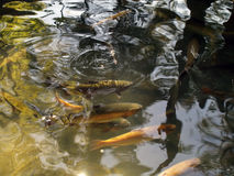 Golden trout. In natural environment Stock Image