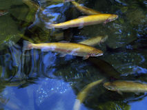 Golden trout. In natural environment Royalty Free Stock Images