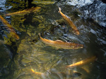Golden trout. In natural environment Stock Photo