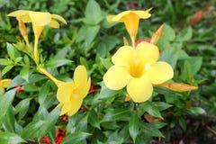 Golden Trumpet, Allamanda cathartica, willow-leaved climber Royalty Free Stock Photos