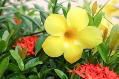Golden Trumpet, Allamanda cathartica, willow-leaved climber Royalty Free Stock Photo