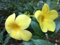 Golden trumpet bloomed in the morning royalty free stock image