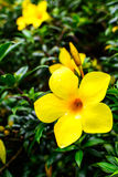 Golden Trumpet flower (Allamanda cathartica) blooming Stock Images