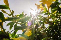 Golden Trumpet flower or Allamanda cathartica Stock Photography