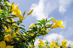 Golden Trumpet flower or Allamanda cathartica Royalty Free Stock Images