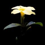 Golden Trumpet Flower On Black Background. Stock Images