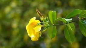 Golden trumpet flower stock footage