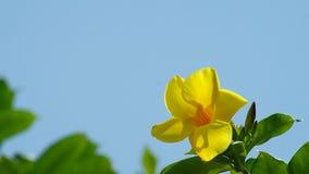 Golden trumpet flower stock video footage