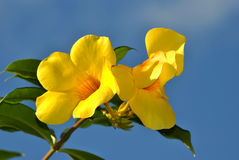 Golden Trumpet flowers Royalty Free Stock Photography