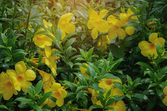 Yellow flowers. Golden trumpet flowers, Allamanda cathartica L., Yellow bell, Yellow flowers Stock Photography