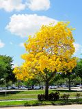 Golden trumpet tree in full bloom in median, Florida Royalty Free Stock Images