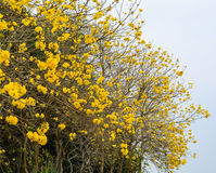 Golden Trumpet-tree with many flowers Stock Photography