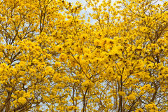 Golden Trumpet trees Stock Photography