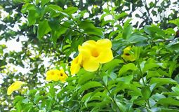 Golden Trumpet Vine. Allamanda cathartica or golden trumpet vine growing in Can Gio area of south vietnam royalty free stock photos