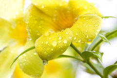 Golden Trumpet Vine after the Rain Stock Photography
