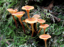 Golden Trumpets - Xeromphalina campanella Stock Photo