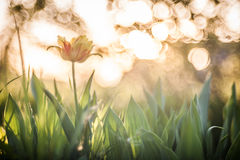 Golden tulip Stock Image