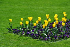 Free Golden Tulips Royalty Free Stock Photos - 19380178