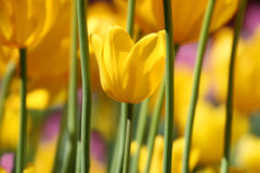 Golden Tulips stock photo