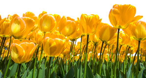 Golden tulips Stock Photography