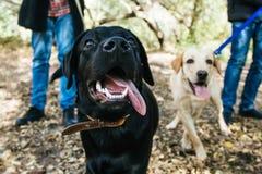 Golden und Labrador retriever spielend in den Blättern stockfotos