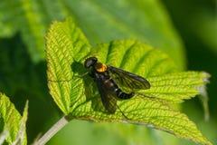 Golden-unterstützt jagen Sie Fliege Stockfotografie