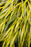 Golden variegated hakone grass Stock Photography