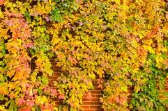 Golden Vine Royalty Free Stock Photography