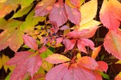 Golden Vine Stock Images