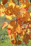 Golden vine leaves in sunlight Stock Photos