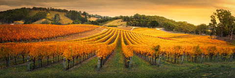 Golden Vines Stock Image