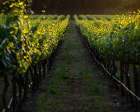Golden vines of a Napa California vineyard row at sunset Royalty Free Stock Images