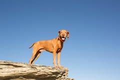 Golden vizsla dog standing on clff outdoors Royalty Free Stock Photos