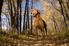 Golden vizsla standing in forest Stock Image