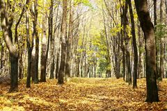 Golden walkway in sunny autumn october forest on blue sky Stock Photo