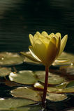 Golden Water Lily. Water lilly in a reflecting pond backlit by late afternoon sunlight with the tops of the petals lit and the front of the flower in shadow Stock Image