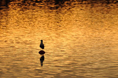 Golden water Royalty Free Stock Photo