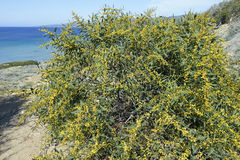 Golden Wattle Royalty Free Stock Photography