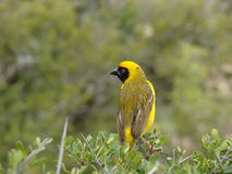 Golden Weaver Royalty Free Stock Photos