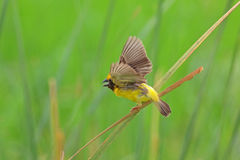 Golden Weaver Royalty Free Stock Images