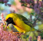 Golden weaver Stock Image
