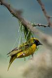 Golden Weaver bird. Starting a nest Stock Photography