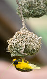 Golden weaver bird building nest. Golden weaver bird hanging below nest whilst building it Stock Image