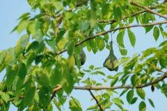Golden-Weaver`s nest Royalty Free Stock Photo