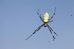 Golden-web spider. Against a clear blue sky Royalty Free Stock Images